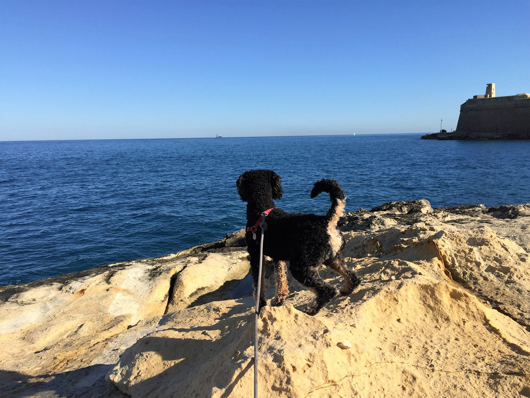Pompe looking out over ocean wondering what to write about in his dog travel blog