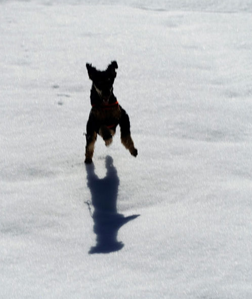 Dog jumps in snow -the joy of snow