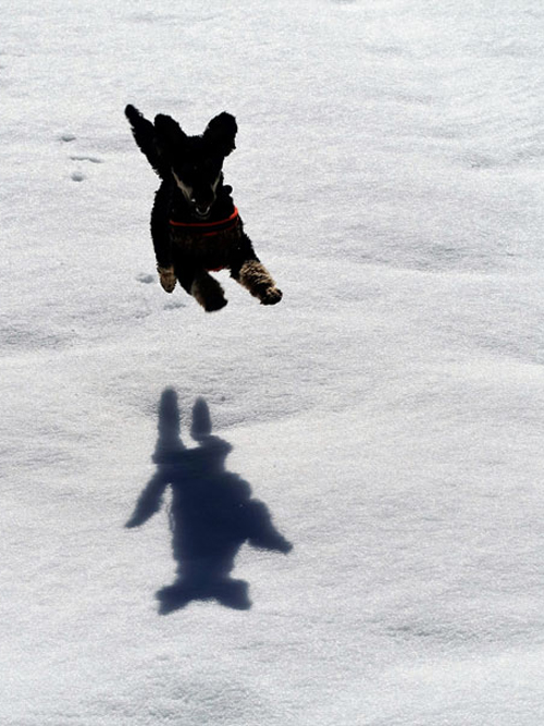 Dog jumps high - the joy of snow