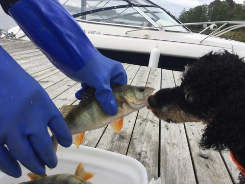 dog kissing fish in Finland, 1