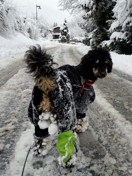 Snow balls up in dog's fur - joy of snow