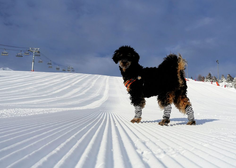 Dog stands in ski piste during dog travel French Alps