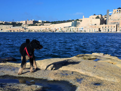Dog on rocky beach with sea and city behind when discovering the Maltese coast