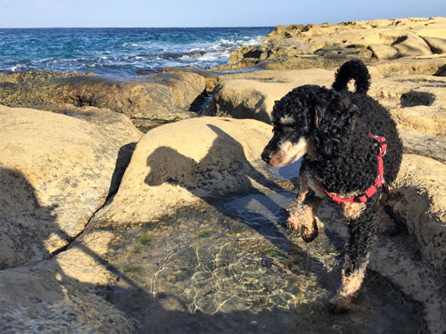 getting paws wet when dog is discovering the Maltese coast