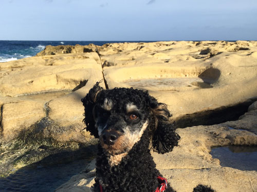 Happy traveller-dog smiling on a rocky beach on Malta