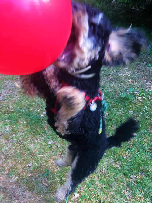 Travelling dog jumping for balloon