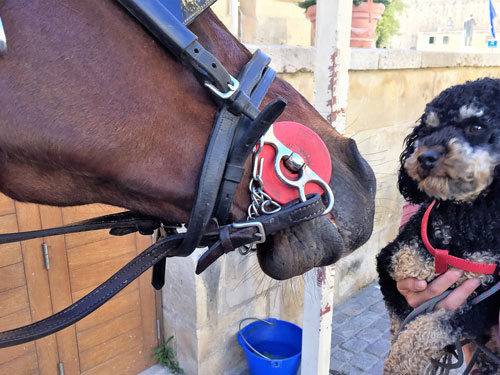 Dog looking at horse in Malta