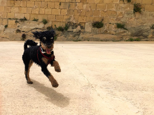 Running happy traveling dog in Malta