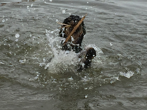 Dog practicing swimming, splashing a lot
