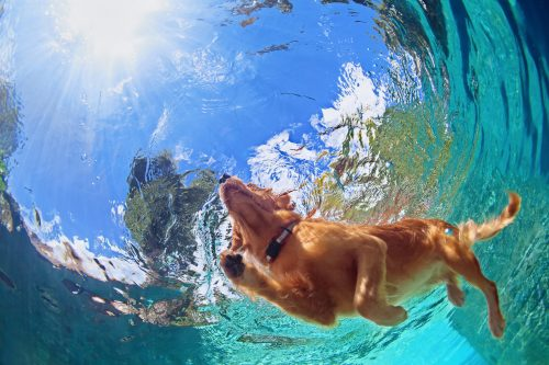 Swimming labador dog seen from underneath the water