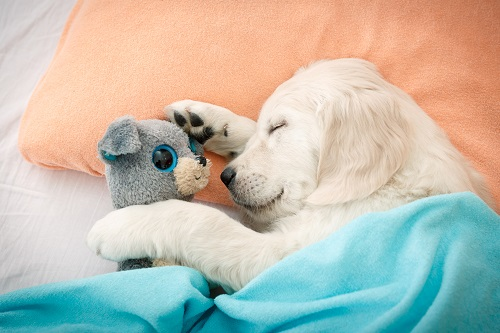 Dog sleeping in a hotel-bed with his stuffed animal