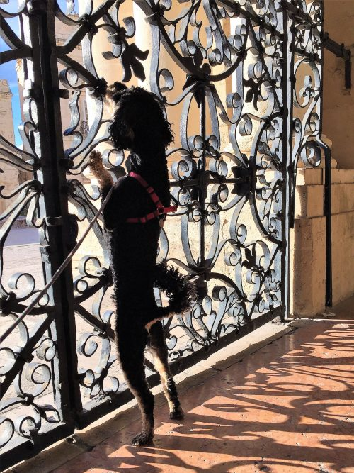 Cute dog standing on back-leggs sniffing gate in Sicily