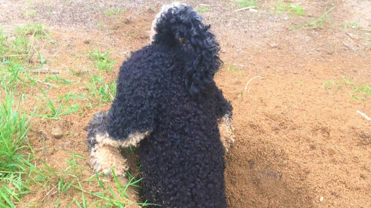 Dog digging big hole in Sweden