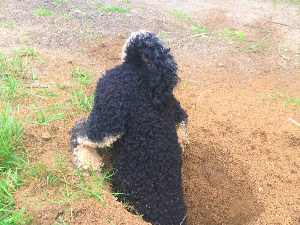 Dog digging big hole in Sweden