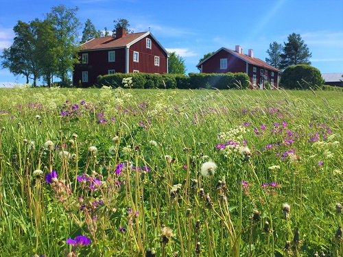 Red house on field full of flowers in Swedish country side