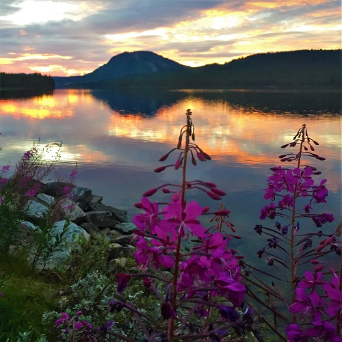 Sunset over Swedish lake. Mountains in background and purple frowers in foreground.