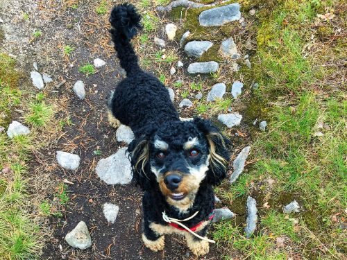 Pompe, the TravellerDog, looks happy as he is standing on a hiking path in Sweden. Nose twisted indicates that he is sniffing the air.