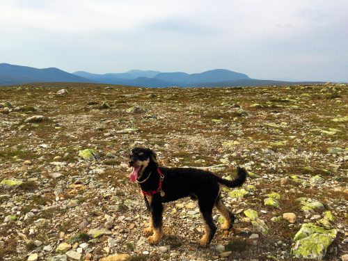 Pompe looks happy as he is standing on top of a Swedish mountain. His tongue is hanging out after have chased many reindeer.