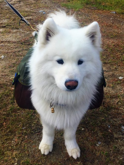 White super-cute dog in Elgå, Norway, is carrying a dog-back-pack, ready for hiking!