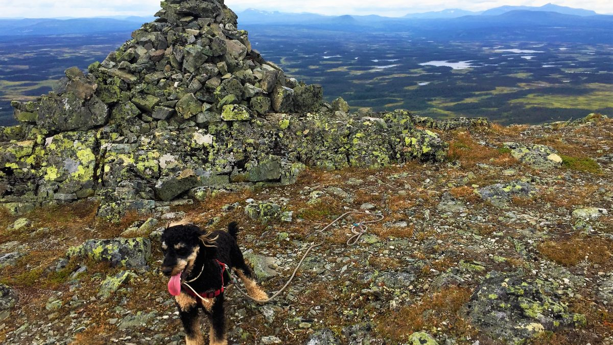 Pompe, the TravellerDog, is standing on top of a Swedish mountain. Pompe is tired, his tongue hanging low and we see far in the distance.