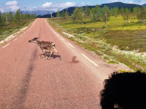 Pompe, the Traveller Dog, is sitting inside the car and sees a reindeer walk across the road in front of him. It's a female reindeer.