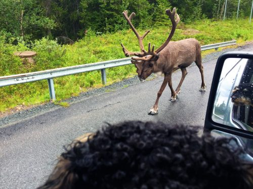 Pompe, the Traveller Dog, is sitting in the car, we can see his curious face in the rear view mirror. An old reindeer with big horns is walking on the road in front of him.