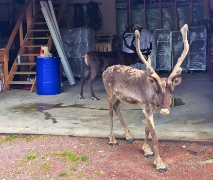One reindeer is walking out of a garage in Sweden and one is still inside. The one inside is dark and has very large horns. He has just taken a big pee on the garage floor.