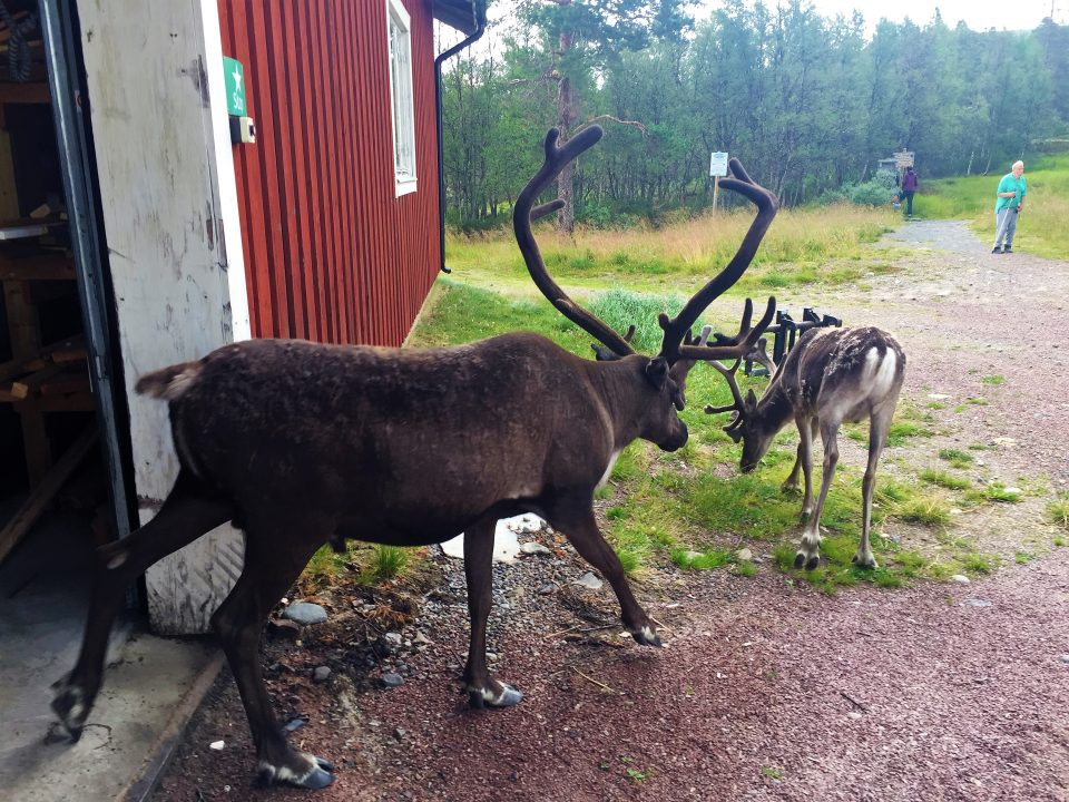 Two reindeer are leisurly walking out of a garage in the mountains in Sweden. One of the reindeer is a smaller female and one is an older male with big horns.