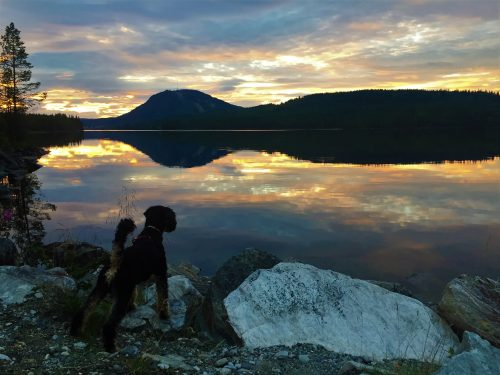 Traveling dog looking out over sunset over lake in Jämtland, Sweden.