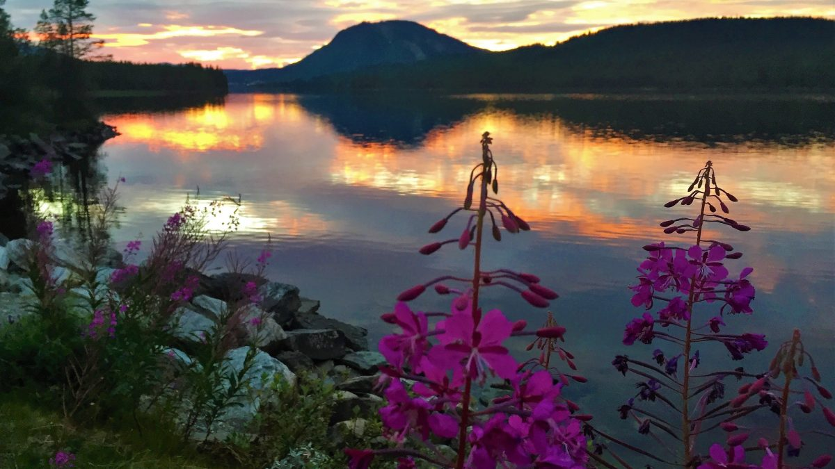 The sun is setting over a lake in Jämtland, Sweden. Mountains in the background and purple frowers in the foreground.