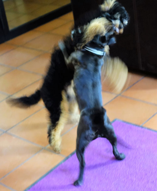 Poodle plays with Stafford Terrier - best friend dog