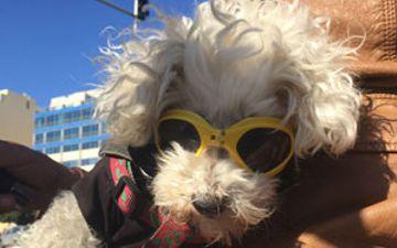 Dog with sunglasses, Malta biker dog