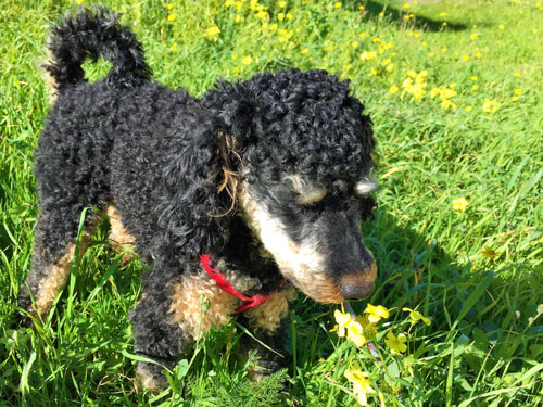 Pompe sniffing grass when dog meets water sprinkler