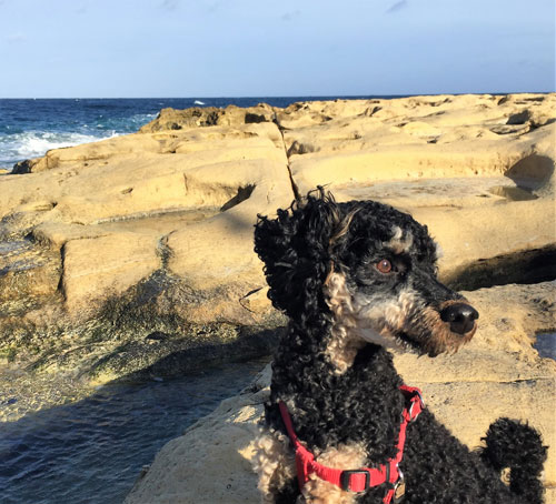 Happy dog on rocky beach when discovering the Maltese coast