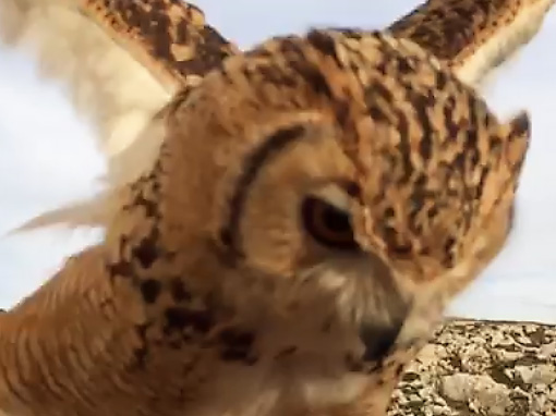 Beautiful owl flying close to the photographer in Malta