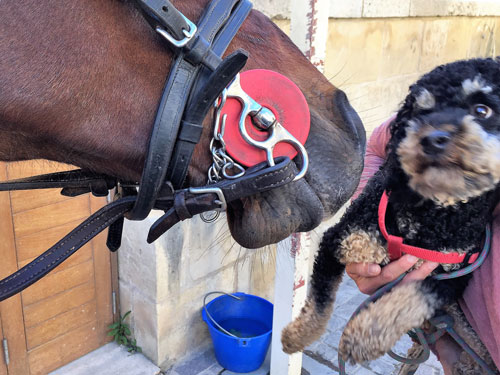 Dog looking scared of horse in Malta 2