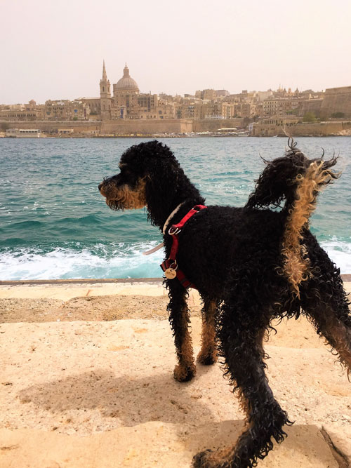 Dog in front of water and cathedral in Malta