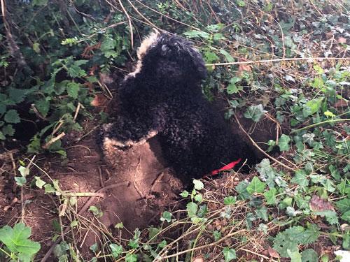 Dog half-way down a huge hole he dug in Sweden