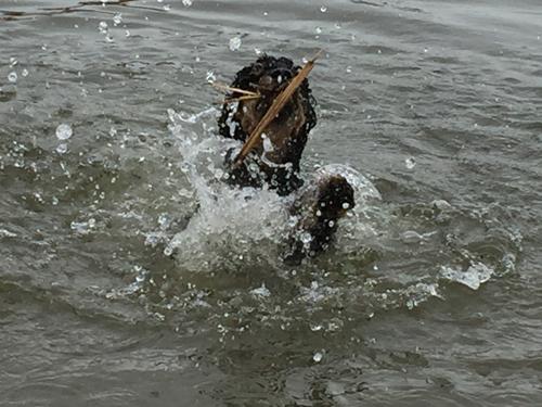 Dog practicing swimming, splashing a lot