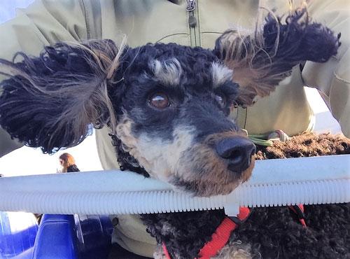 Traveller-Dog-in-wind,-2